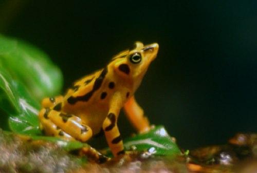 golden-panamainian-frog