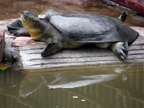 Yangtse Soft-Shelled Turtle