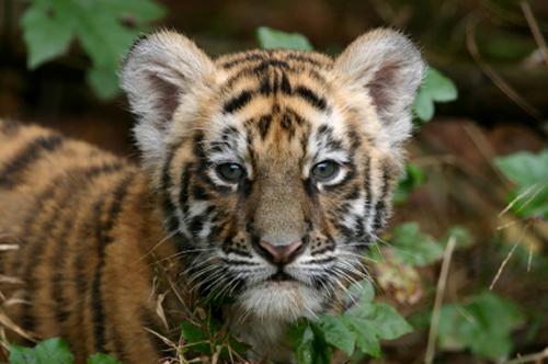 Baby tiger - endangered species.
