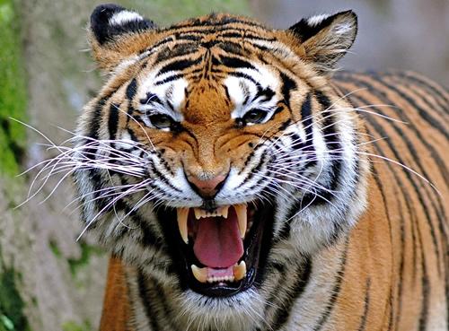 Tiger showing teeth
