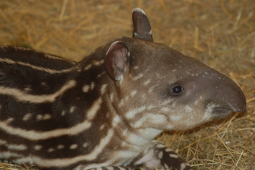 Lowland tapir calf for article about tapir facts