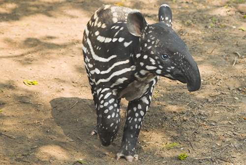 Malayan tapir calf for article about tapir facts