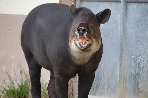 Bairds tapir laughing for article about tapir facts