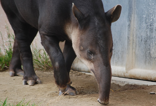 Bairds tapir image showing prehensile nose