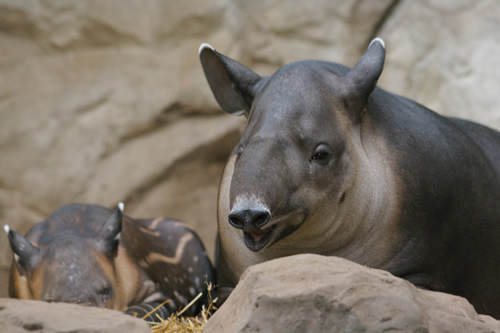 Bairds tapir with calf for article about tapir facts