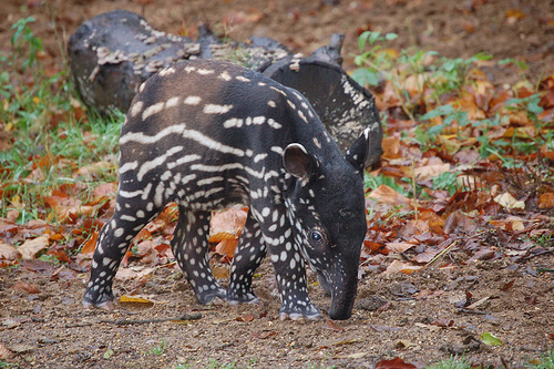 Malayan tapir calf hiding with dappled coat