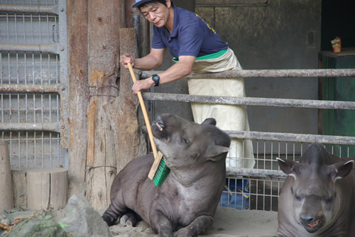 Lowland tapir being brushed