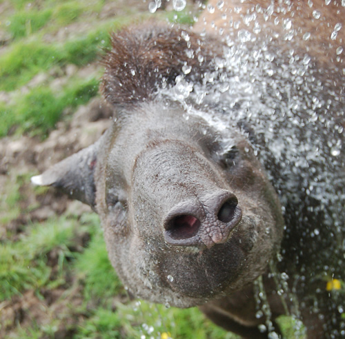 Lowland tapir splaching in the water