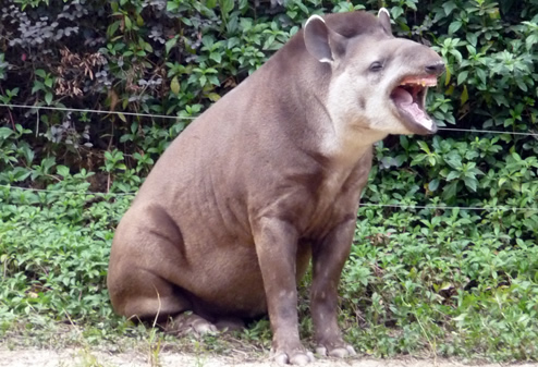 Lowland tapir yawning for article about tapir facts