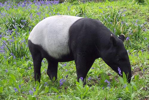 Malayan tapir grazing
