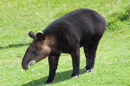 Mountain tapir on the grass for tapir facts