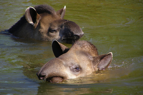 Lowland tapirs swimming