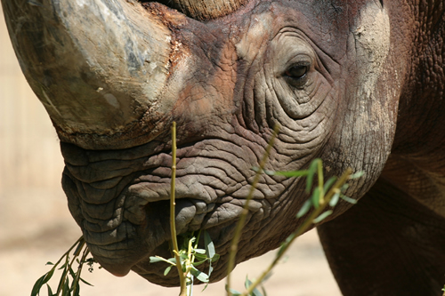 Black rhino close-up for rhino facts and photo gallery