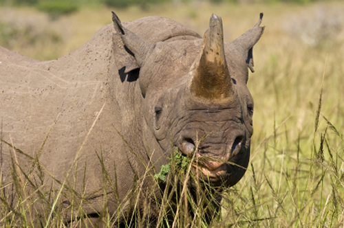 Diceros bicornis image for rhino facts and photo gallery