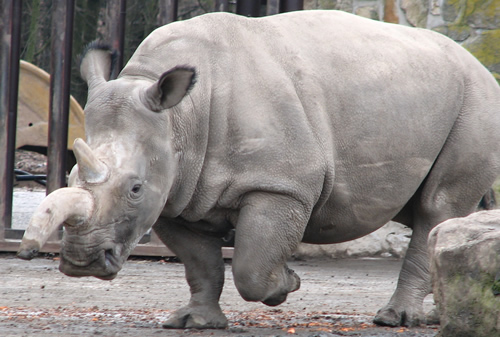 Northern white rhino Ceratotherium simum cottoni for article about move from Czech zoo to Kenya.