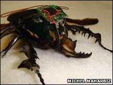 cyborg beetle - Megasoma elephas (elephant beetle)