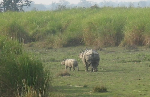 Greater one-horned rhino with calf for article about rhino poachers posing as visitors to Kaziranga National Park.