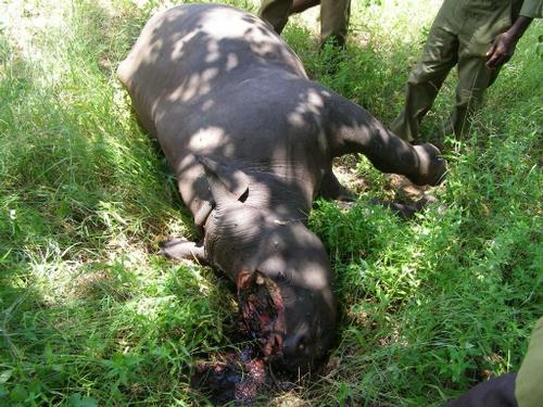 Rhino calf killed in Zimbabwe by poachers due to Chinese demand for illegal rhino horn.