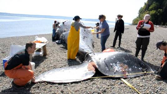 Cascade Research examine dead whale in West Seattle