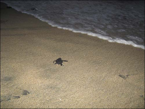 The last turtle makes its way to the sea
