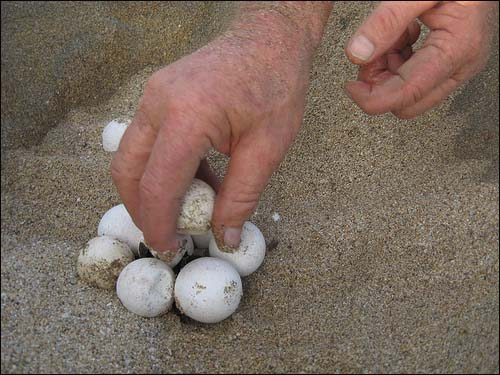 Frank helps out hatching turtles
