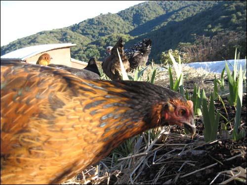 chickens peck