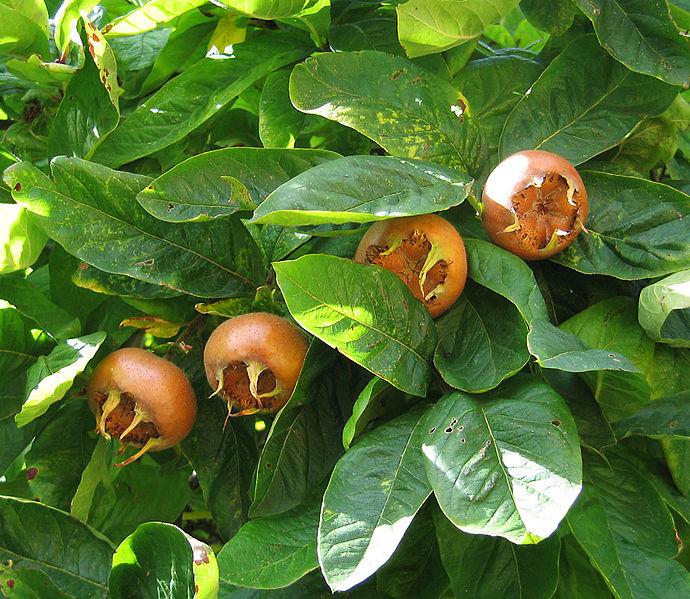 File:Medlar pomes and leaves.jpg