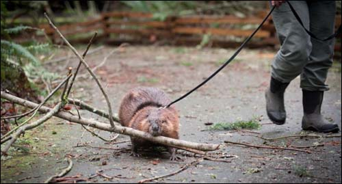 beaver carrying branch