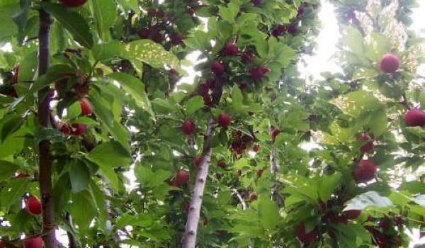 Plum_tree_with_fruit_600