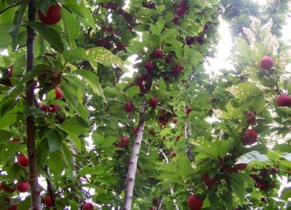 plum tree with fruit