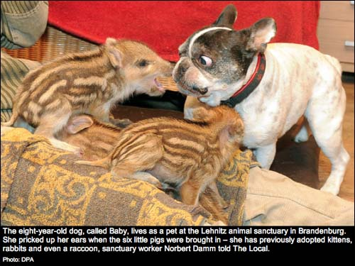 wild boar piglets and French Bulldog