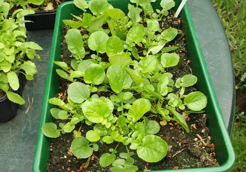 Perennial-Vegetable-Land-Cress.jpg