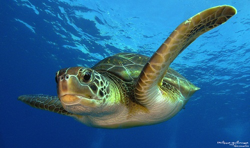 Sea Turtle by  Philippe Guillaume
