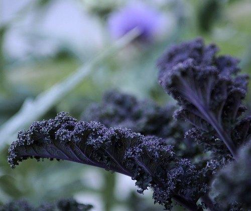 redbor kale